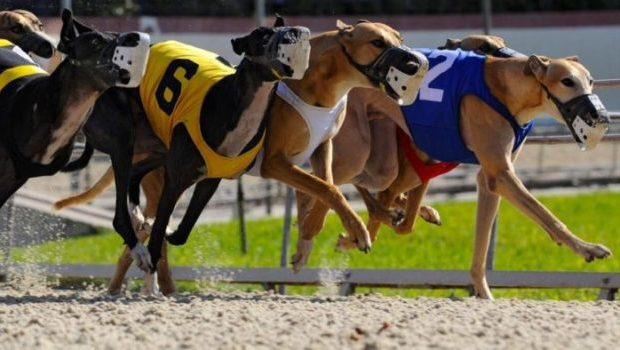 Greyhound Racing Betting Strategies